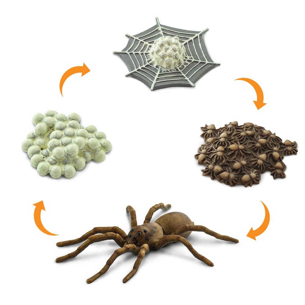 Životní cyklus - Pavouk